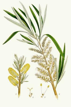 Корзиночная ива, или лоза (S.viminalis L.)